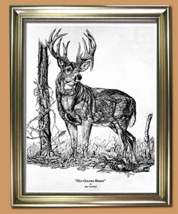 Old Golden Horns  Unique Black and WHite Pencil art for Sale By Wisconsin Wildlife Artist Jim Tostrud